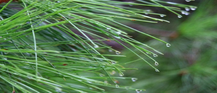 best way(s) to pick up pine needles